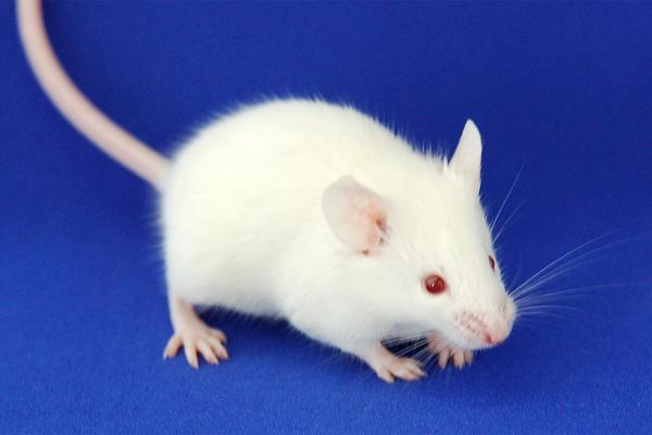 NOG mouse|In-Vivo Science Inc...